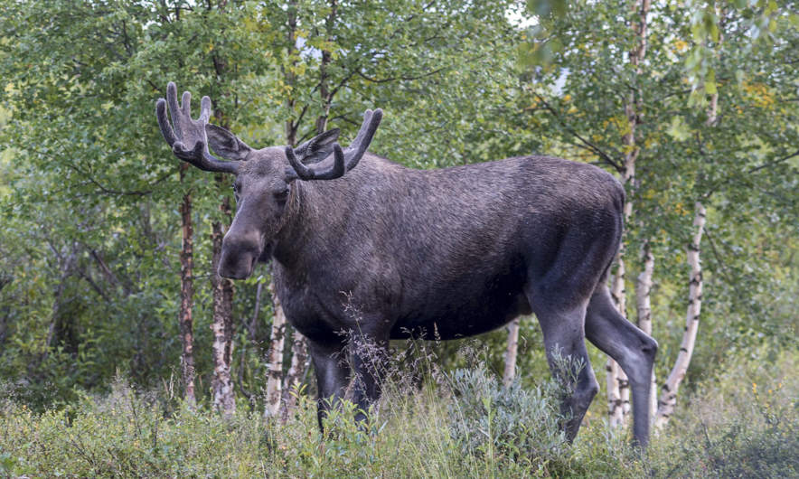 A big moose visits Abiskojaure