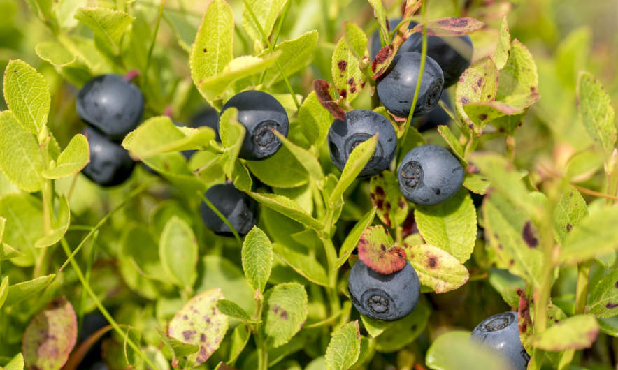 Blåbär (blueberries)