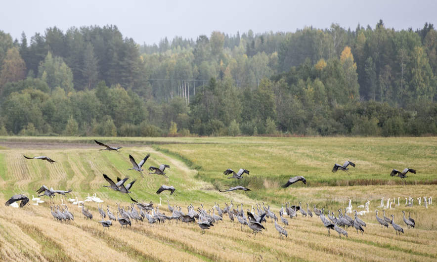 Gathering common cranes and whooper swans