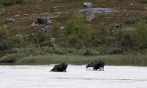 Lake moose I