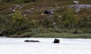 Lake moose III