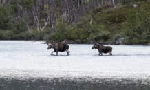 Lake moose V