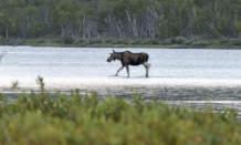 Lake moose VI