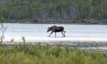 Lake moose VII