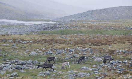 Reindeer herd I