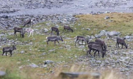 Reindeer herd II