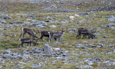 Reindeers grazing outside of the hut