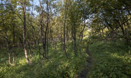 Hiking through the birches