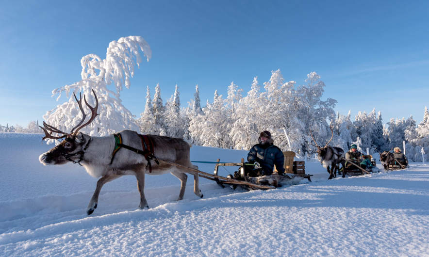 Reindeer sledging II