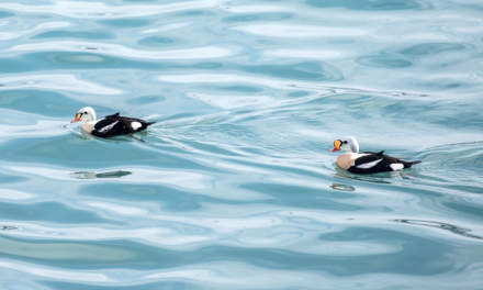 King eiders in Båtsfjord