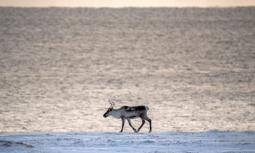 Reindeer at the Barents Sea