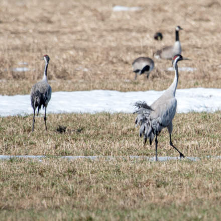 Common crane · trana · Kranich