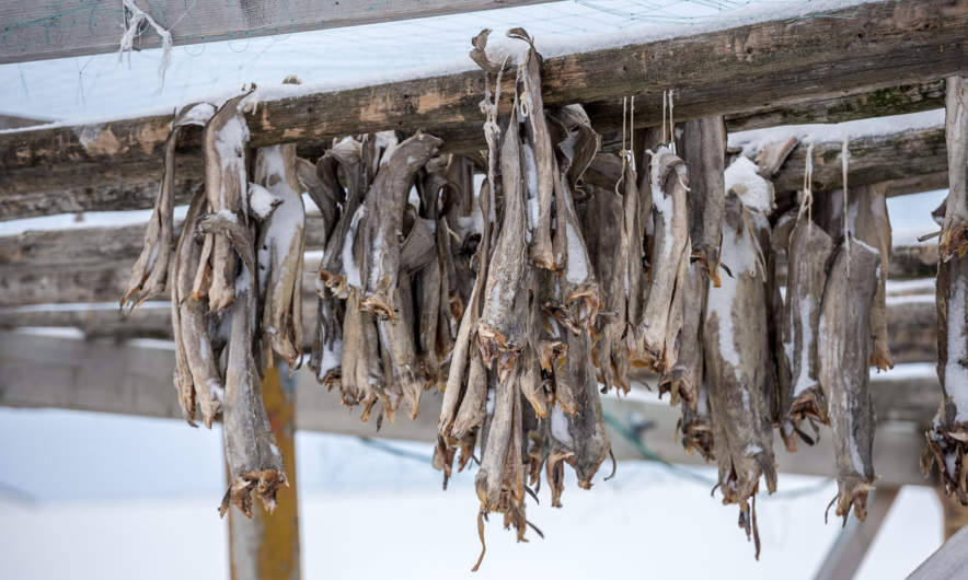 Cod hung up for drying