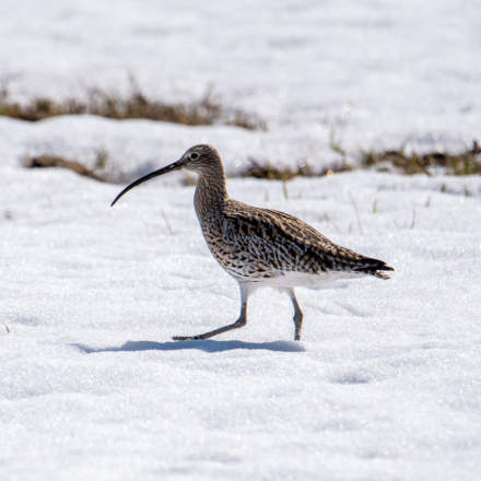 Eurasian curlew · storspov · Großer Brachvogel