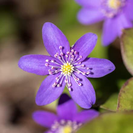 Liverleaf ·blåsippa · Leberblümchen
