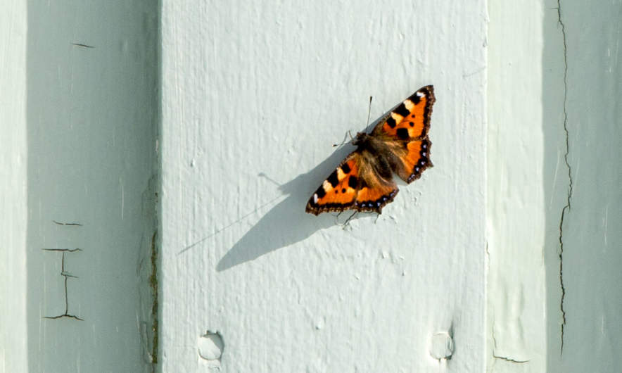 Small tortoiseshell resting on my house