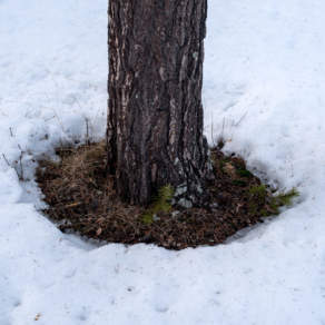 The snow around the tree trunks is thawing