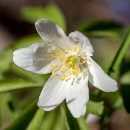 Wood anemone · vitsippa · Buschwindröschen