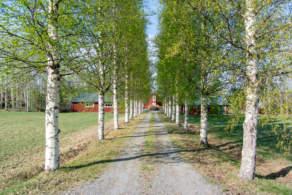 A birch avenue