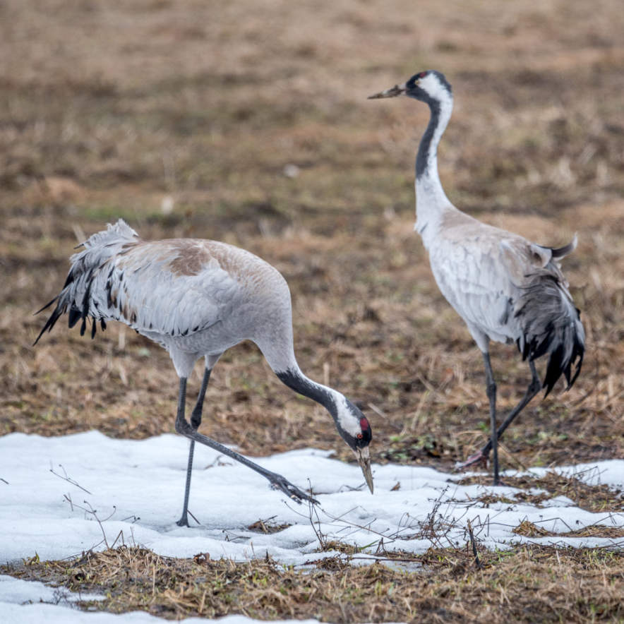 Two common cranes