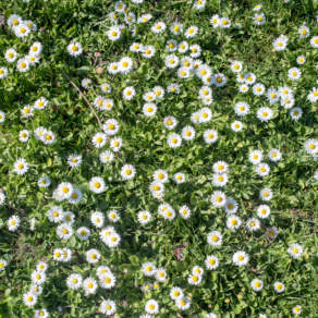 Krusmyntagarden – daisy meadow