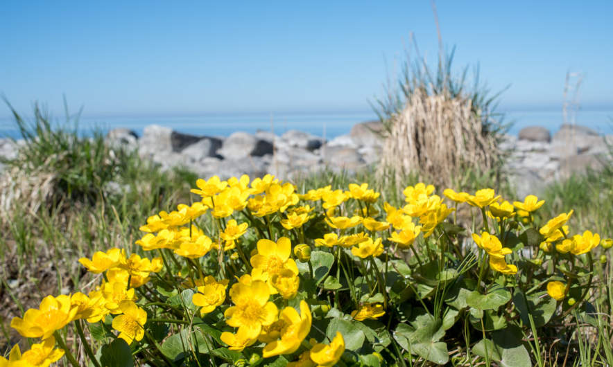 Marsh marigold at the coast.