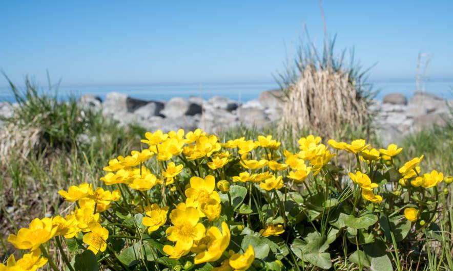 Marsh marigold at the coast.
