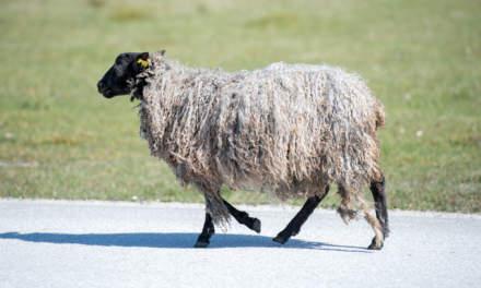 Sheep I