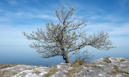 Södra hällarna –Solitary tree