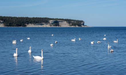 White swans at Irevik