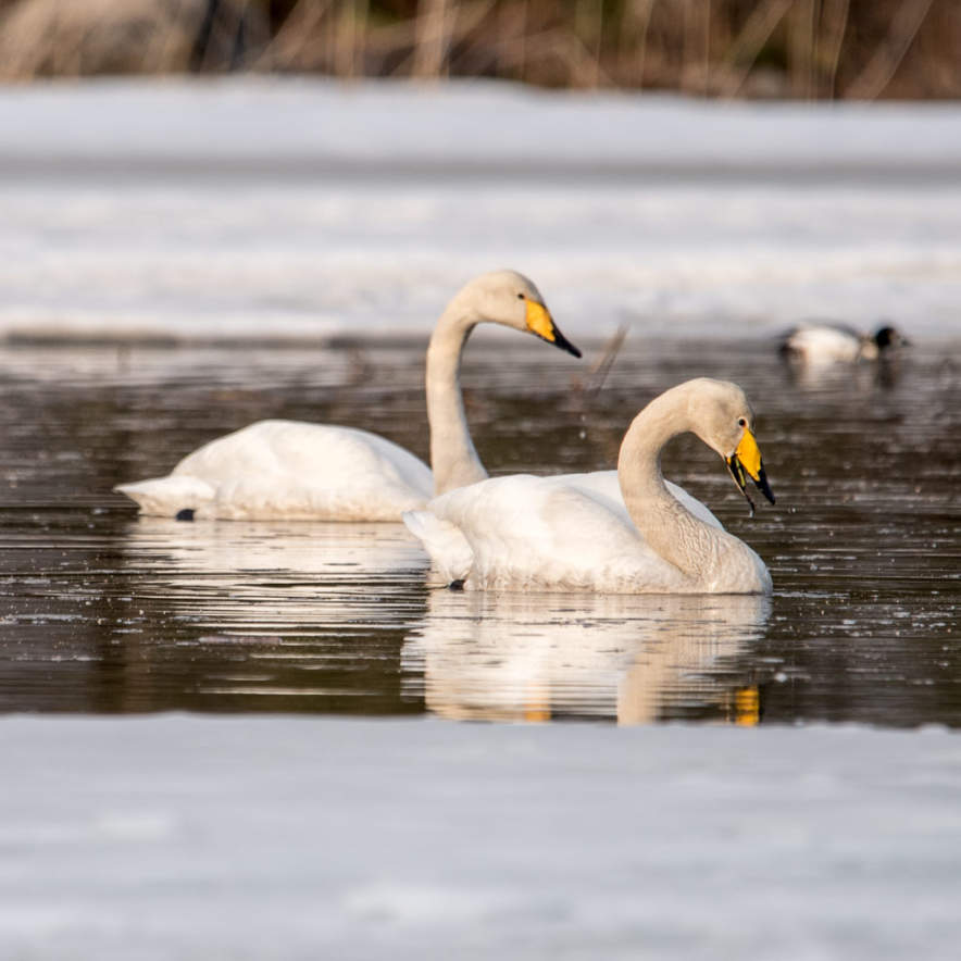Two whooper swans on the lake Bygdeträsk