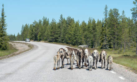 Reindeers on the road
