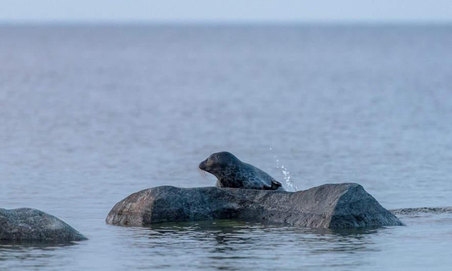 A grey seal I