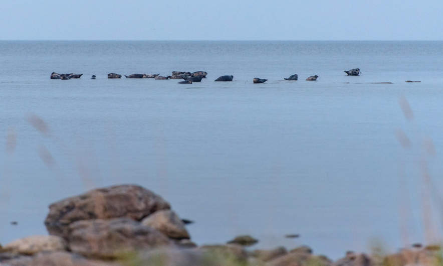 A group of grey seals