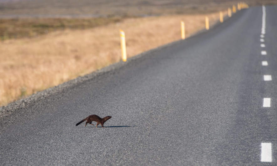 A mink crossing the street