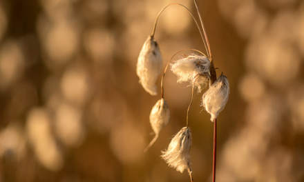 Cotton grass in the morning sun