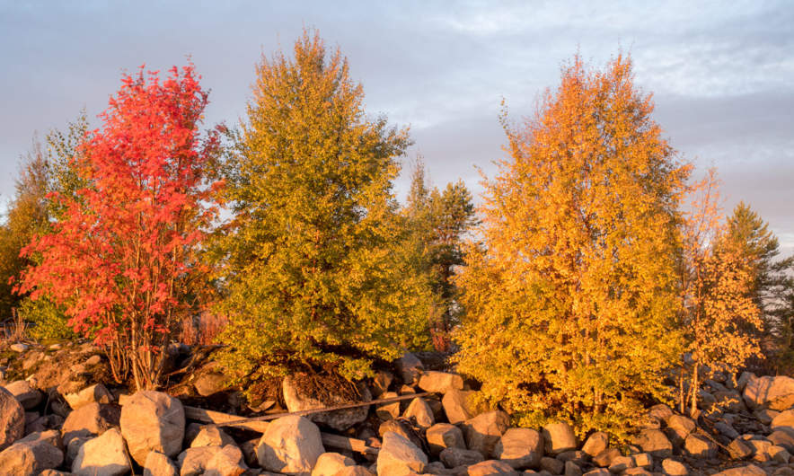 Three trees, three and hundreds of colours
