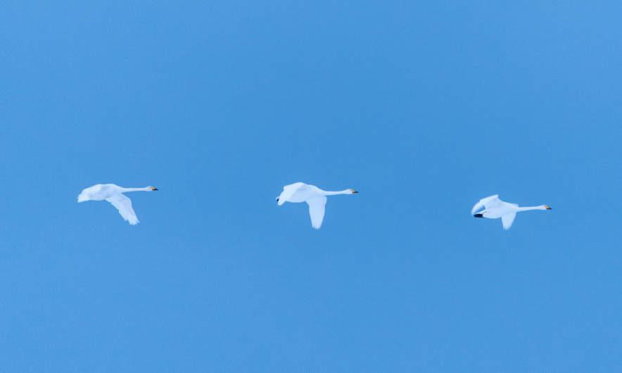 Three swans heading southward