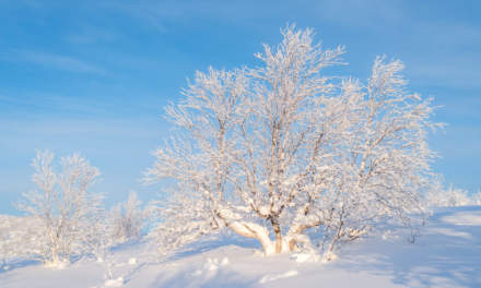 Snowy birch tree