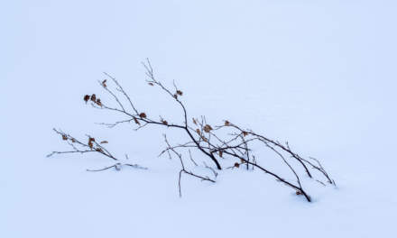 Birch scrub in the snow