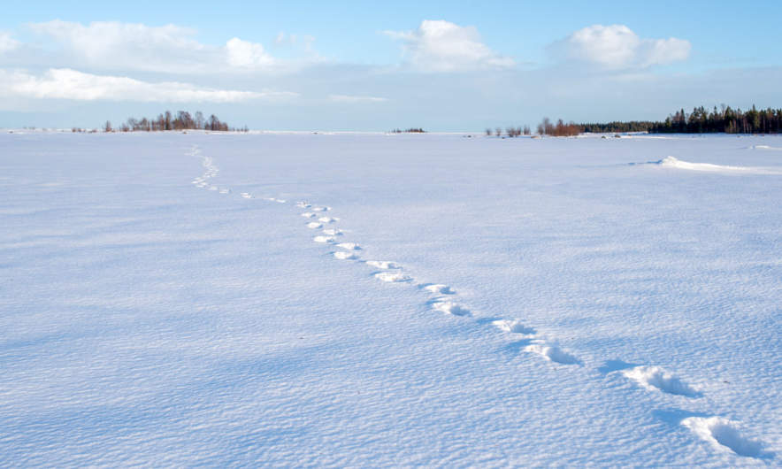 Moose tracks on the Baltic Sea
