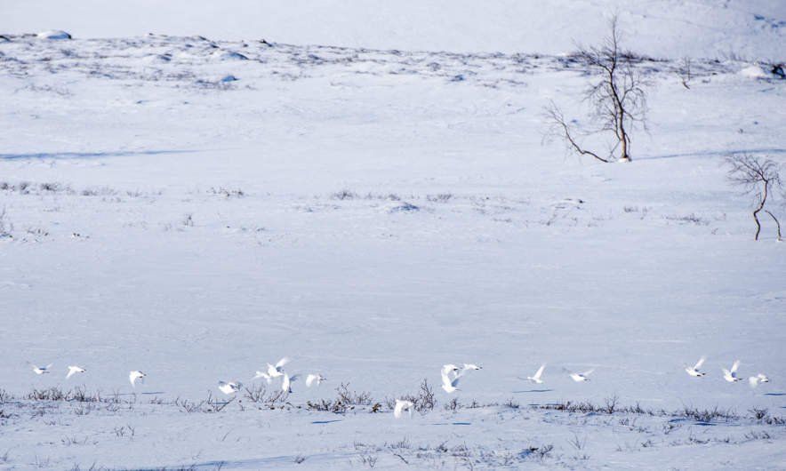 Flock of flying Ptarmigans