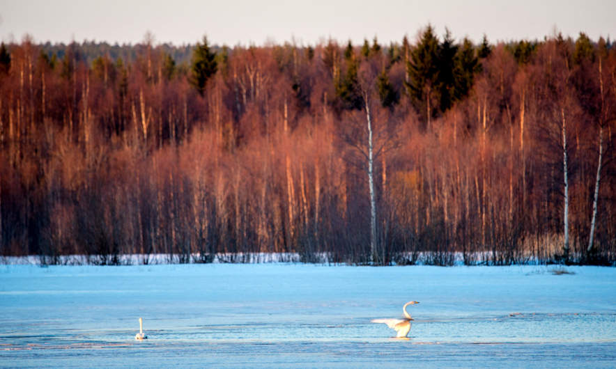Birches and whooper swans in the morning sun