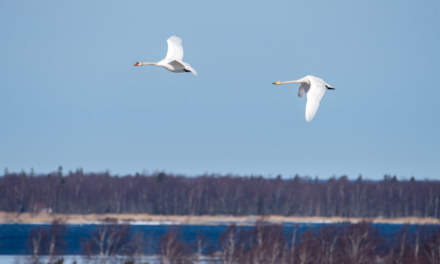 Mute swan (left) and whooper swan (right)