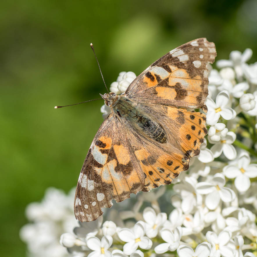 Painted lady sitting on a lilac blossom