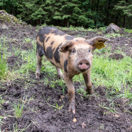 A curious piglet