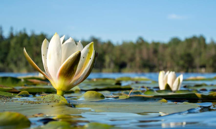 Water lilies in the Frisksjön