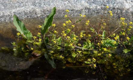 Bog yellowcress / Gewöhnliche Sumpfkresse