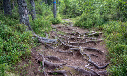 A Forest of tree roots
