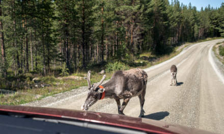 Reindeers on the road again